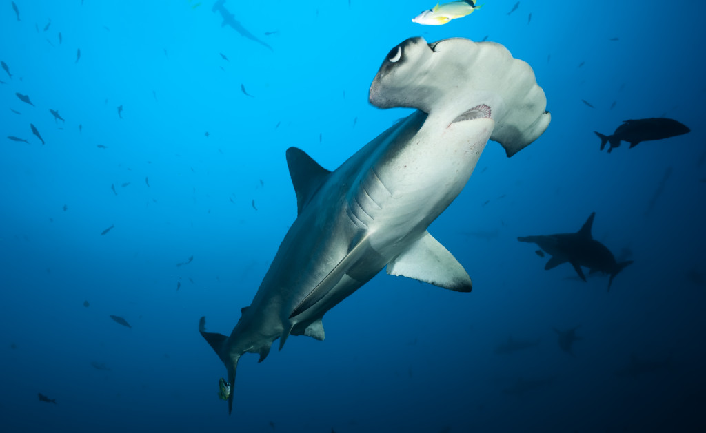 Costa Rica Is Not Doing Enough to Protect Diminished Shark Populations
