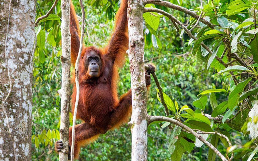 See orang-utans in Malaysian Borneo's rainforests (AP)