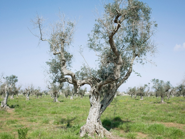 Olive trees infected by Xylella in Italy; the disease is sweeping across one of the nation's most famous olive regions.