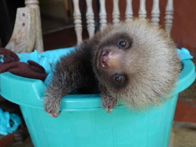 One of the adorable mammals hangs out in a bucket. Picture: Barcroft MediaSource:Getty Images