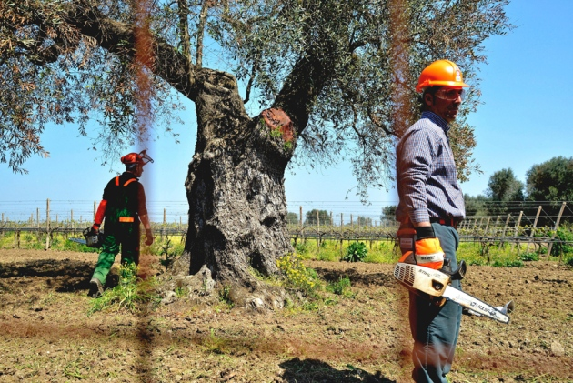 Workers in southern Italy prepare to cut down an olive tree infected with Xylella fastidiosa bacteria.