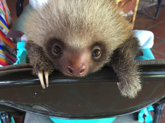 A cute sloth looks at the camera. Picture: Barcroft MediaSource:Getty Images