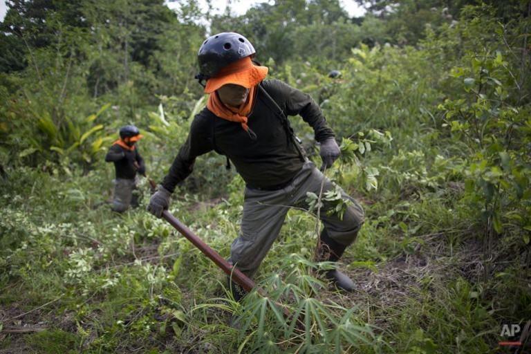 Peru Eradicates Record Amount of Coca in 2015