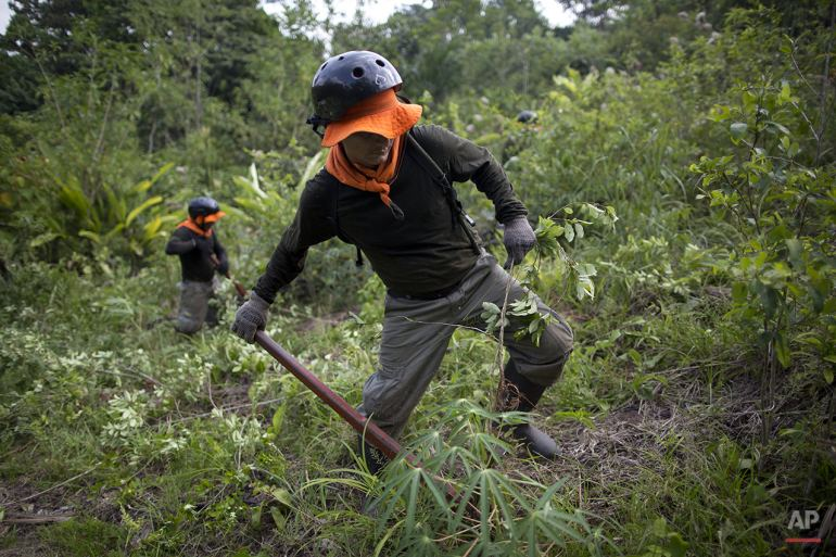 In this Oct. 28, 2015 photo, a worker pulls up a coca plant in Nueva Esperanza, a remote village in the municipality of Ciudad Constitucion in Peru's Amazon. The plant destroyers earn $17 a day, or about $510 a month, which in Peru is a little more than double the minimum wage and a lot more than the average $2 a day earned by farmers who often live in miserable conditions. (AP Photo/Rodrigo Abd)