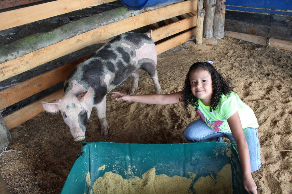 """The 'Presidential Sow"""" is under the good care fo the Arnolod Zuniga family in Cartago"""