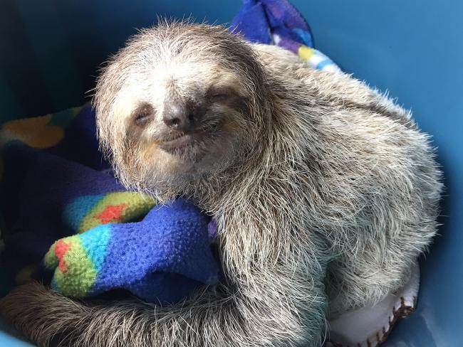 Costa Rican Rescue Centre Uses Rocking Chairs To Help Orphaned Sloths Learn How To Climb Trees