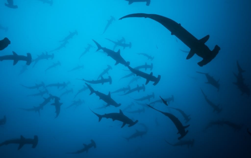 pretoma-shark