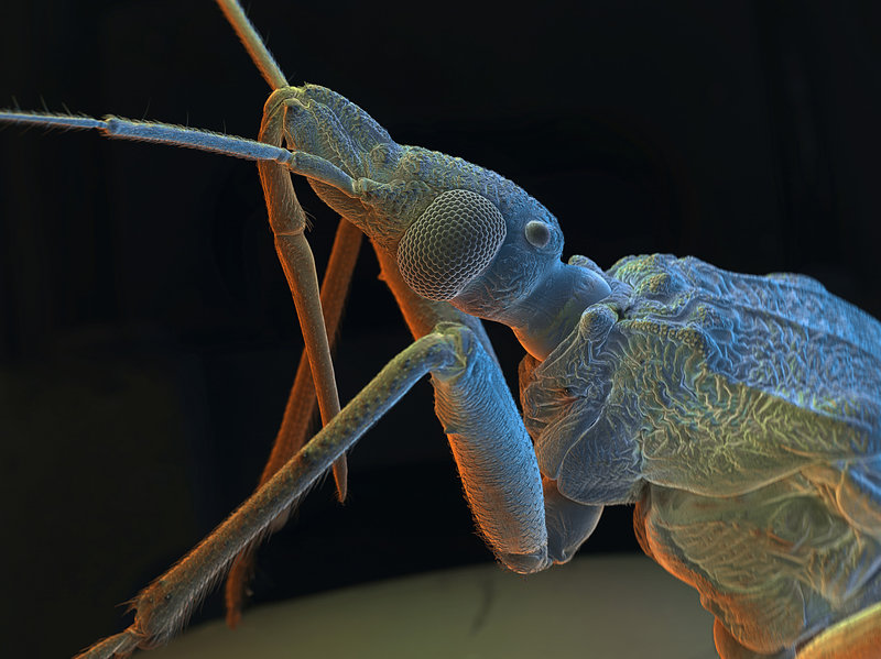 A kissing bug is ready for its scanning electron micrograph extreme close-up. This insect bites humans, sucks their blood and infects them with a parasite, transmitted through feces. David Scharf/Science Source