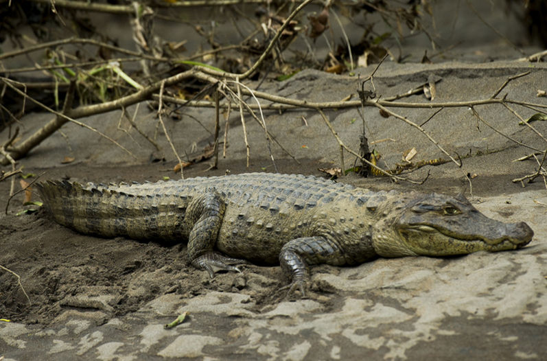 The Caiman crocodilus photographed in the Sarapiqui river. The species mainly feeds on birds and fish, and…