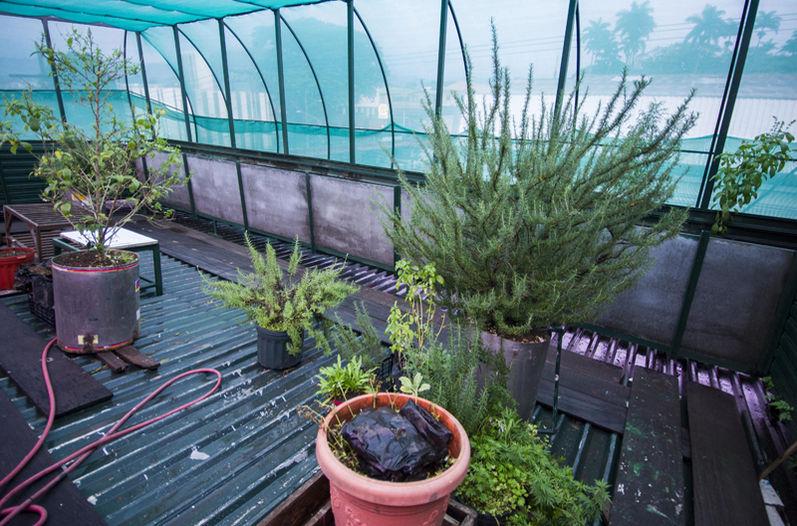 The marijuana plants found on the rooftop terrace of Mario Cerdas. Photo JOSÉ CORDERO, La Nacion