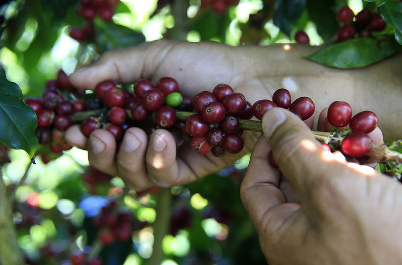 Higher quality Costa Rica coffee is exported abroad, harvesters getter better prices on international markets than domestic.