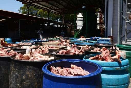 View of animal bones to be processed in the biodigestor at Del Valle slaughterhouse in Belen