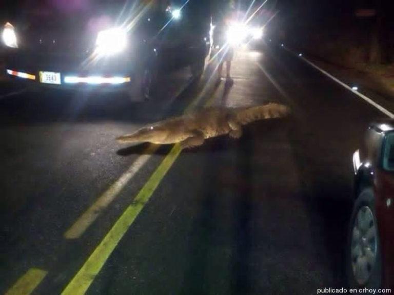 Crocodile Plays Havoc With Tamarindo Traffic