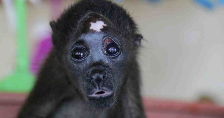 In Guanacaste, Monkeys Die from Dehydration Due to Drought