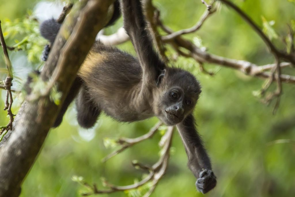A golden-mantled howling monkey, a species of monkey in Manuel Antonio. (Krysia Campos/Getty Images)