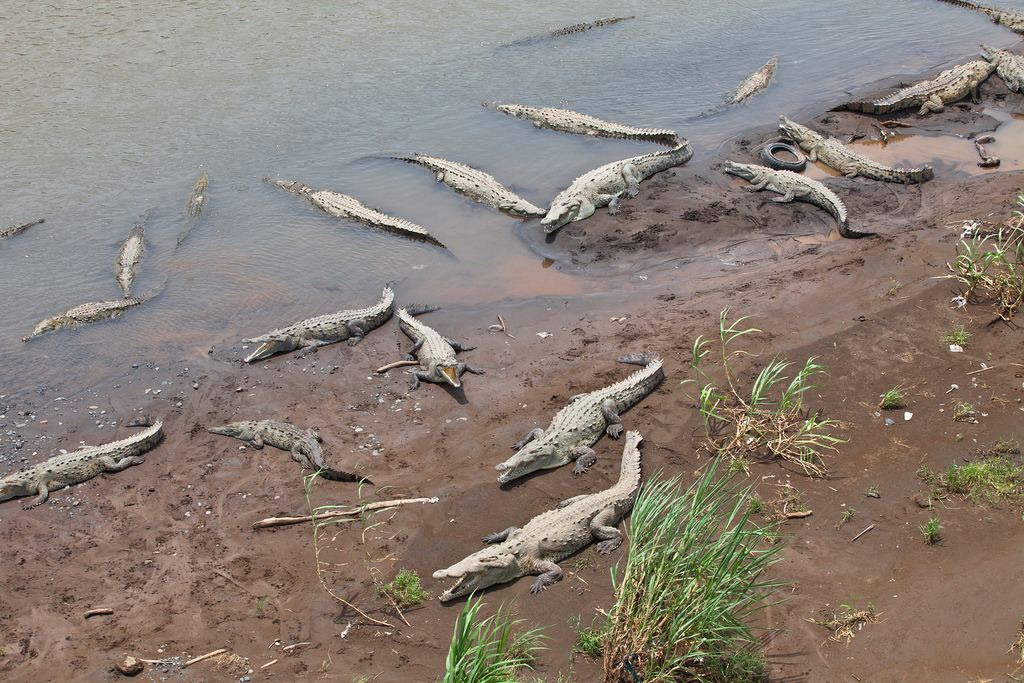 The crocodiles below the Tarcoles river bridge. A must stop. Photo from Flickr.com
