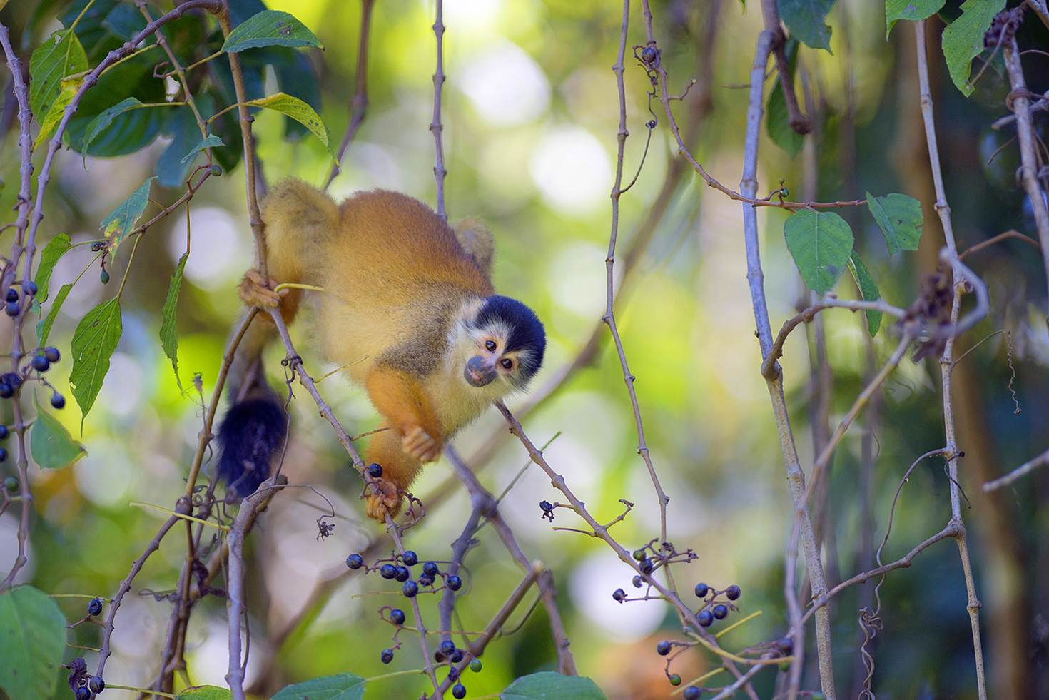 A squirrel monkey in Parque Nacional Corcovado © Sean Caffrey / Getty Images