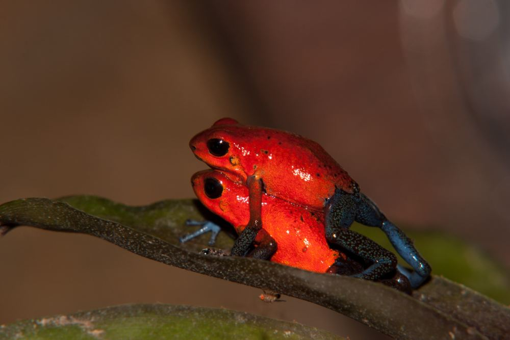 blue-jeans-frogs-mating-1