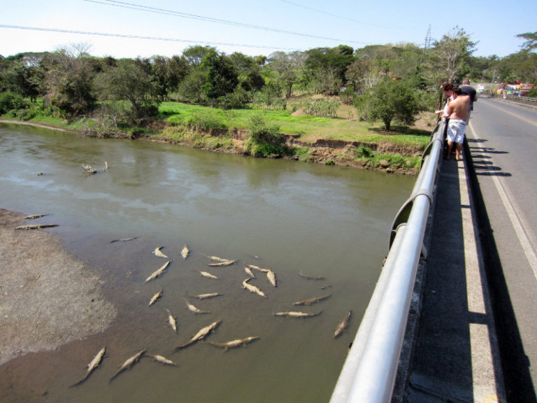 Costa Rica's 'Croc Bridge' Does Not Disappoint  (Video)