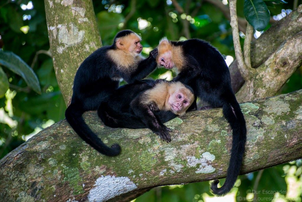 What's a visit to Costa Rica without the monkeys?
