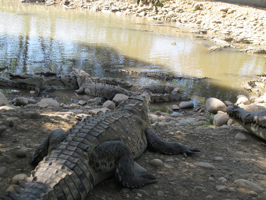 The Tempisque river crocodiles have made their way to the tilapia ponds after discovering the delicacy meal.
