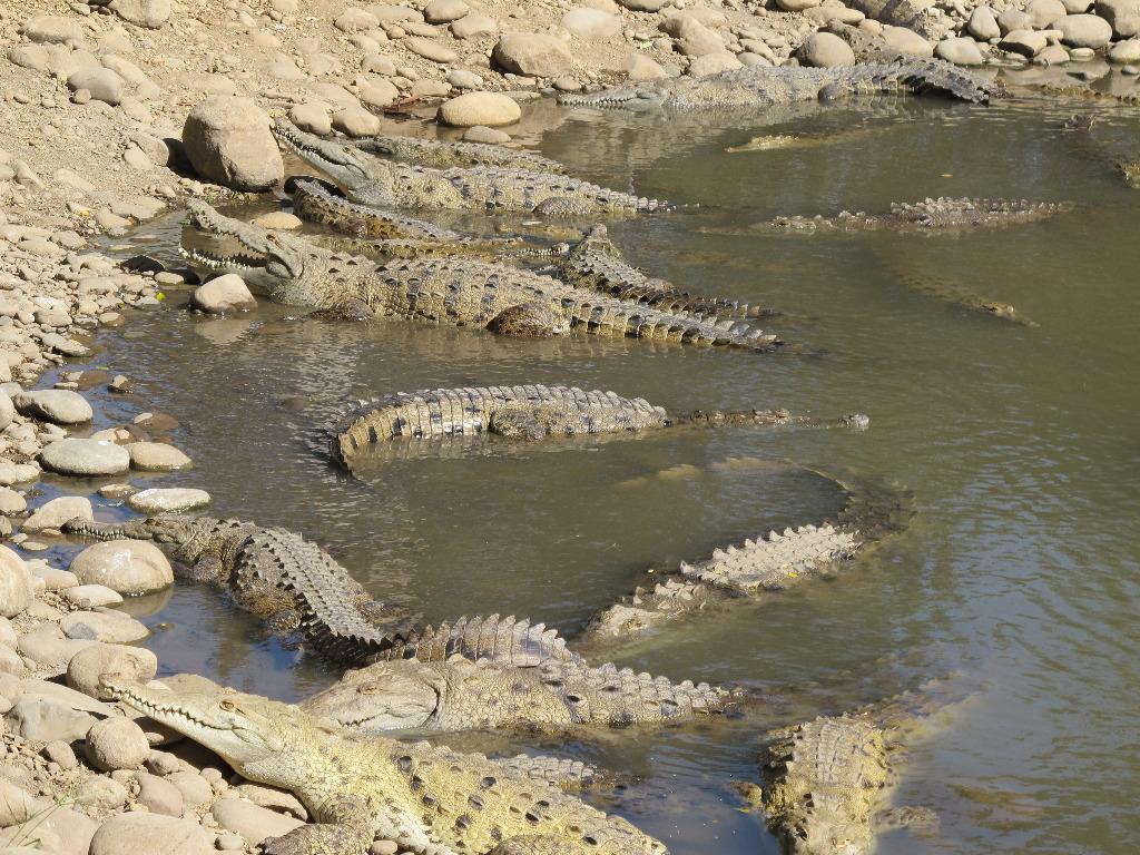 aqua-tilapia-farm-crocodiles-6