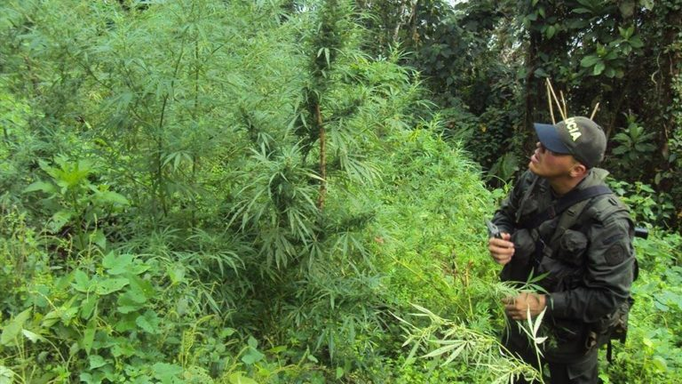 Marijuana in Colombia: From 'the weed that kills' to 'the weed that cures'