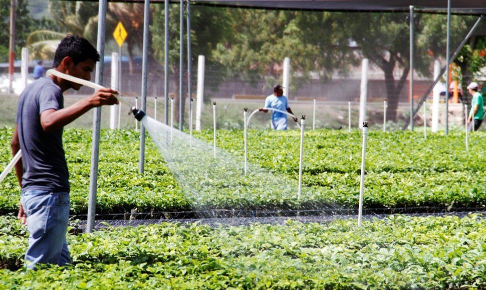 Irrigating the coffee plants to be sold to producers in the country. Photo Oscar Sánchez, El Nuevo Diario