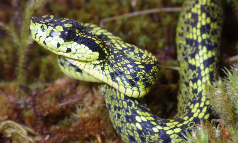 An international team of scientists has solved a case of mistaken identity and discovered a new species of venomous snake. Credit: University of Central Florida Read more at: http://phys.org/news/2016-07-venomous-snake-costa-rica.html#jCp