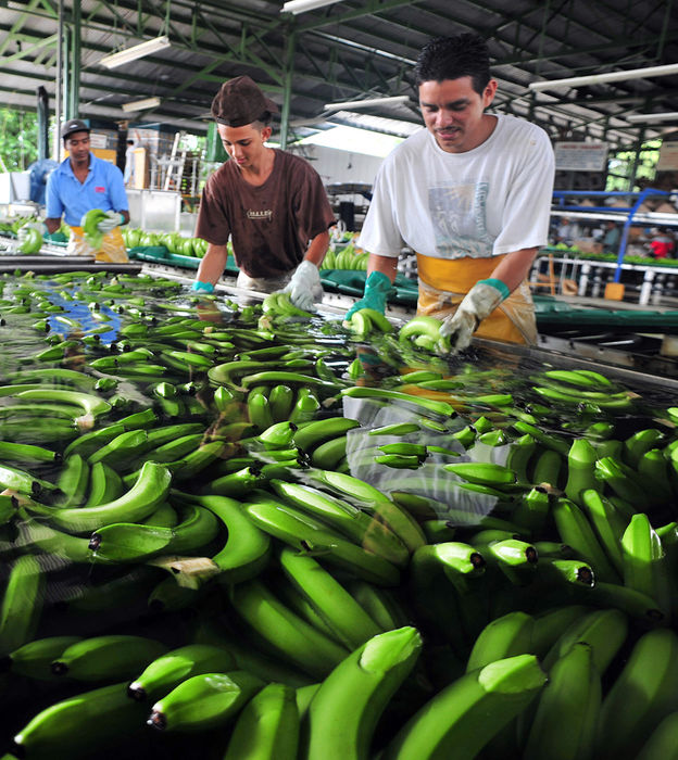 Costa Rica bananas being processed and readied for export.