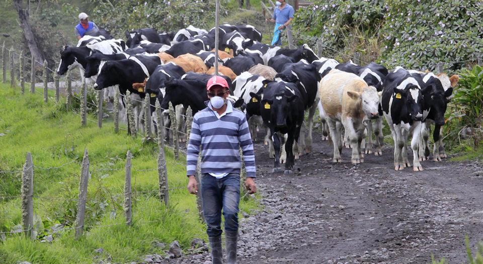 Adolfo Carvajal, a resident of San Gerardo de Irazu, found the cattle that is responsible in poor condition. The cows had their eyes and nostrils with ash. They were hungry because they could not eat the grass and water covered with ash.   RAFAEL PACHECO.