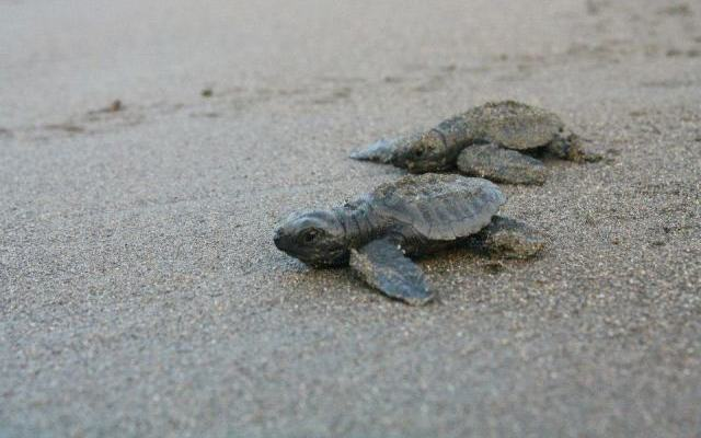 turtle-baby-heading-to-the-sea