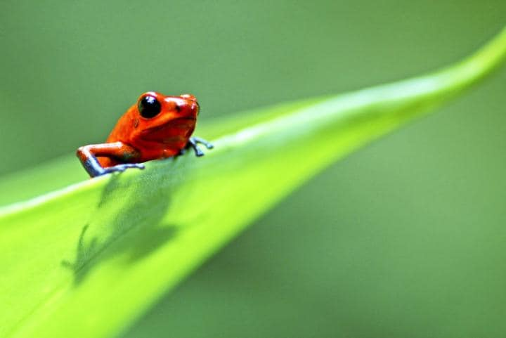 Costa Rica has been opened to the British public by a new route this year Credit: © Edwin Giesbers/ naturepl.com/DENDROBATES PUMILIO