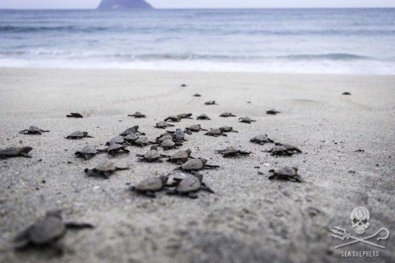 Sea Shepherd Ordered to Immediately Cease Turtle Protection Campaign in Costa Rica