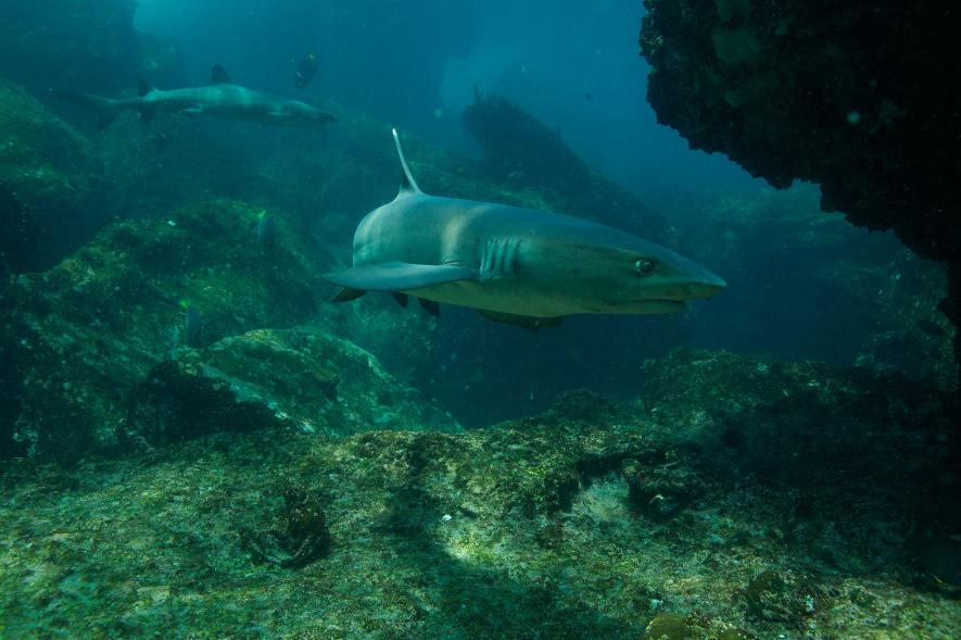 A whitetip reef shark swims near the sea floor in a cove off the Galápagos Islands. New marine reserves announced Friday are designed to protect sharks and other marine life in the region. Photograph by Tim Laman, National Geographic