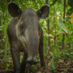 Voices-Nai-conservation-Bairds-tapirs-3872-600×399
