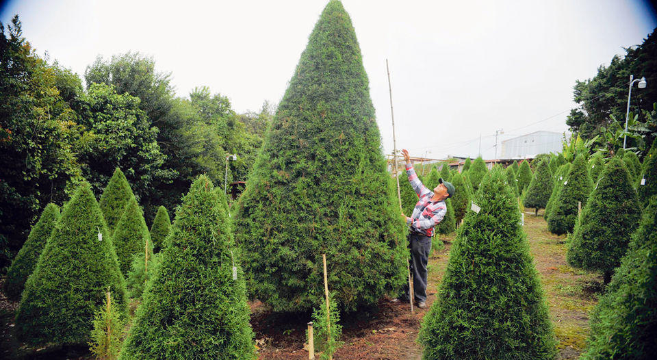 n Arboleda González, in El Alto de la Trinidad, Moravia, there are 2,500 cypresses. Some measure up to four meters, as shown by Helberth Gonzalez. For the larger gauges there are promotions. | DIANA MÉNDEZ