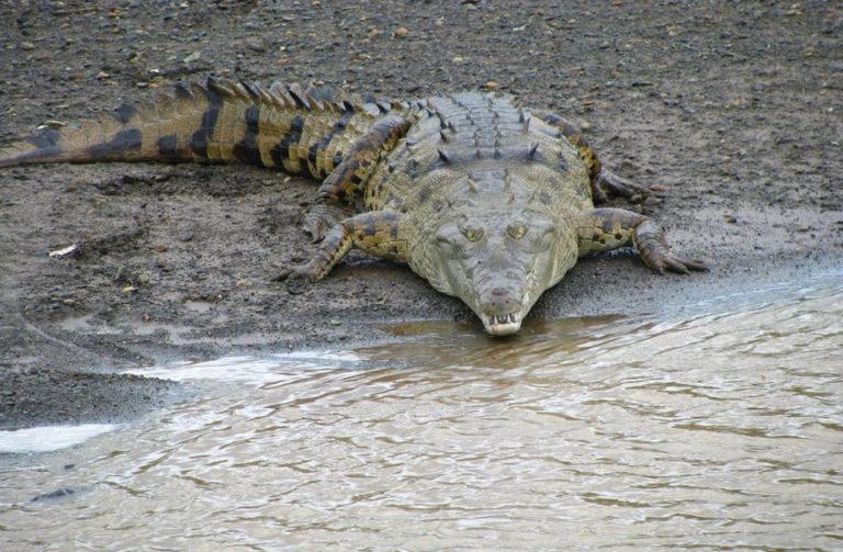 Tourists recognize the danger to see crocodiles on Tarcoles bridge