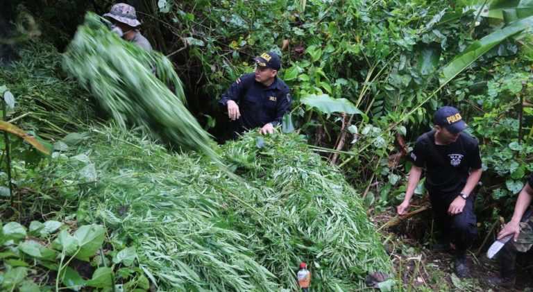 Drug Police Destroy More Than 200,000 Marijuana Plants During Christmas Week;  Over 2 Million For The Year