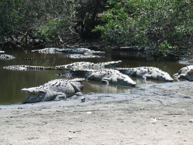 Counting Crocs in Costa Rica