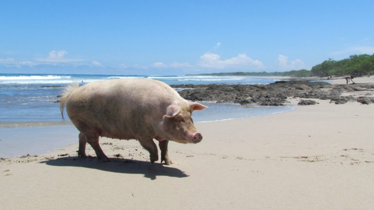 Costa Rica To Keep Track Of Its Pigs