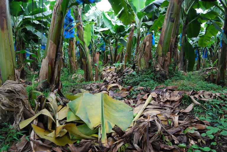 Costa Rica Banana Exports Fall 9%