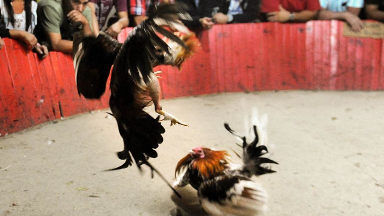 Despite Being Ilelgal Cockfighting Event In Costa Rica Annouced In Social Media
