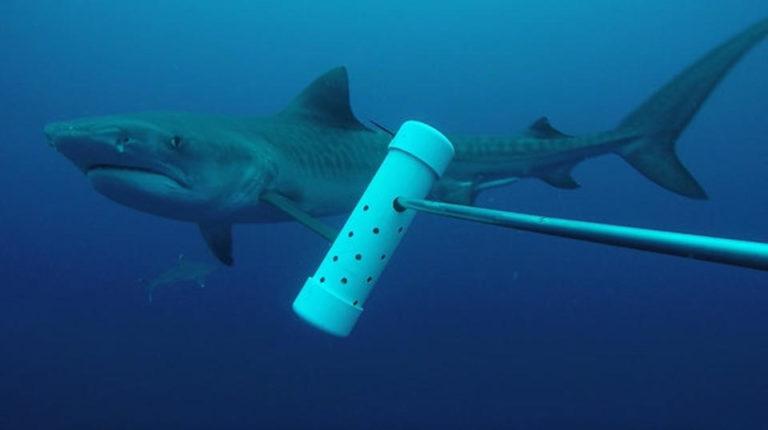 Female Tiger Shark Attacked American Tourist Who Died in Isla del Coco