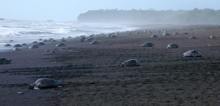 Drones confirm importance of Costa Rican waters for sea turtles