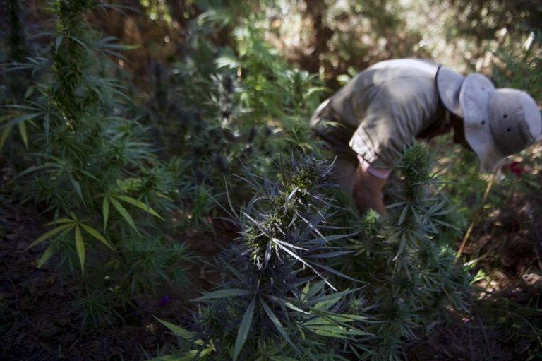 Canadian Capital Fuels Colombian Cannabis Boom
