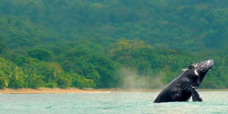 Ocean Warming Rhreatens To Drown Costa Rica´s Whale Tourism