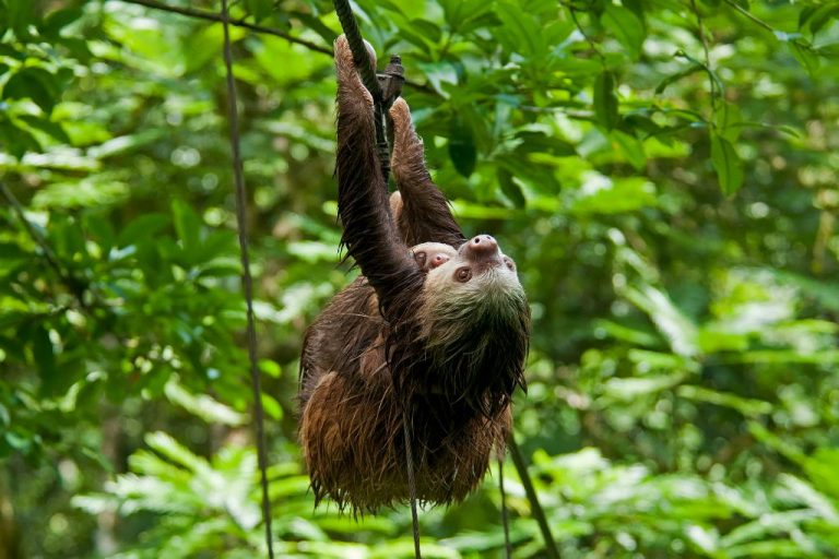 A surprise encounter with Costa Rica's laziest animal
