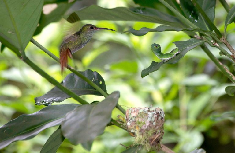 Misunderstanding Between Caterpillar and Hummingbird Leads to High-Stakes Face Off