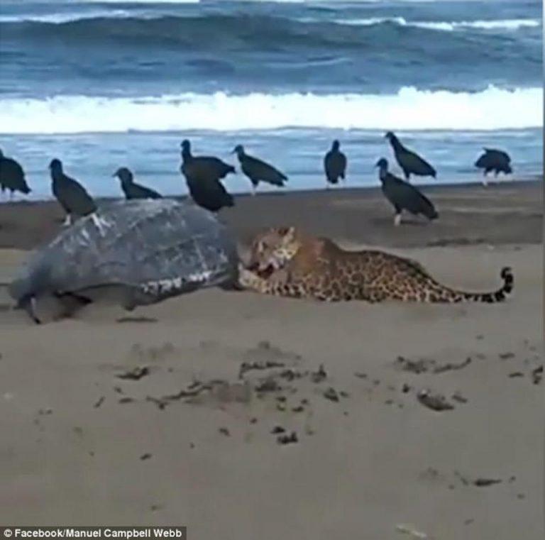 Gruesome Moment: Jaguar Devours Leatherback Turtle On Costa Rica Beach